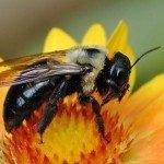 Female-Carpenter-Bee-150x150
