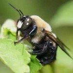 Male-Carpenter-Bee-150x150