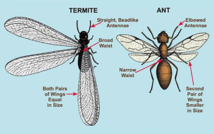 Termite Season is here and so are Termite Swarmers