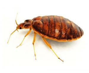 bedbug-lo