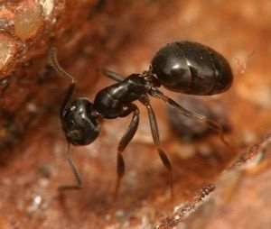 oderous-house-ant