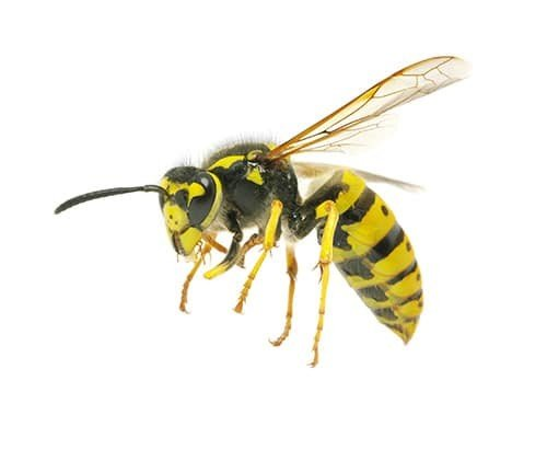 Pest Control Bees and Wasps Greenville, SC - Walker Pest