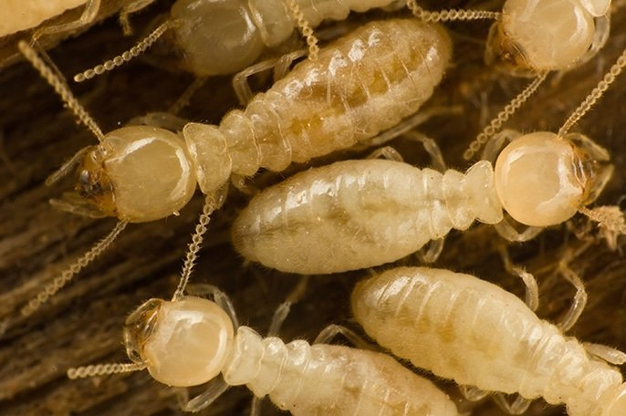 3 Termite Tips That Can Save You Money: Termites
