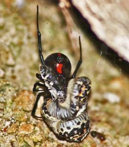 Spider Eating Snake